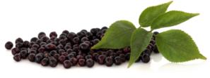 bezinky - léčivá bylina