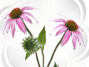 Echinacea proti chřipce
